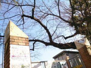 旧千川小学校 校門付近の桜