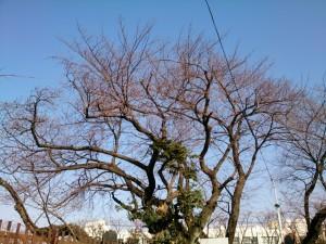 旧千川小学校 ふれあい広場付近の桜