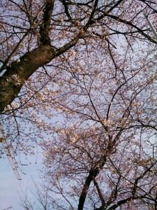 第14回千川堤桜まつり  【 3月29日(土)現在 桜の開花状況 】