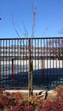 広場南側に植樹したソメイヨシノ