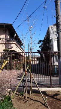広場東側に植樹した大島桜