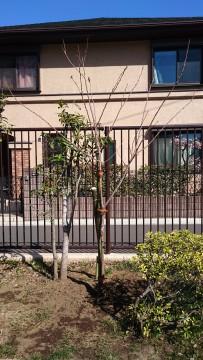 広場東側に植樹したソメイヨシノ