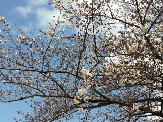 第16回 ふるさと千川桜まつり 【 3月27日(日)現在 桜の開花状況 】